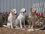 Labrador Retrievers Sitting in a Garden, MR Photographic Print by Cheryl Ertelt