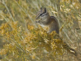 Least Chipmunk, Eutamias Minimus, Eating Rabbitbrush, White Mountains, Inyo National Forest Photographic Print by Gerald & Buff Corsi