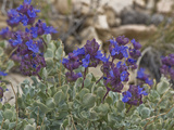 Clokey Purple Sage (Salvia Dorrii Clokeyi), Ancient Bristlecone Pine Forest, Inyo National Forest Photographic Print by Gerald & Buff Corsi
