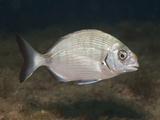 White Sea Bream (Diplodus Sargus Sargus), Les Ferranelles, Medes Islands, Costa Brava Photographic Print by Reinhard Dirscherl