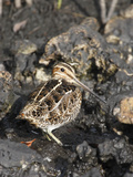 Common Snipe (Gallinago Gallinago) on Mudflat in Brackish Marshes of the Merritt Island National Photographic Print by Marc Epstein