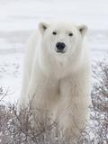 Polar Bear (Ursus Maritimus) Walking Through Willows, Churchill, Manitoba, Canada Photographic Print by Cheryl Ertelt