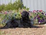 Flat-Coated Retriever Sitting in a Garden, MR Photographic Print by Cheryl Ertelt
