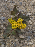 Creeping Oregon Grape (Berberis Aquifolium Repens) Great Basin National Park, Nevada Photographic Print by Gerald & Buff Corsi