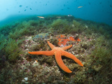 Red Starfish on Coral Reef (Echinaster Sepositus), Cap De Creus, Costa Brava, Spain Photographic Print by Reinhard Dirscherl