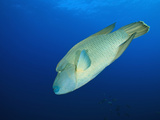 Humphead Wrasse (Cheilinus Undulatus) Elphinestone Reef, Red Sea, Egypt Photographic Print by Reinhard Dirscherl