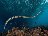 The Banded or Yellow-Lipped Sea Krait Swimming Among Fish Schools over Coral Reef Photographic Print by David Fleetham