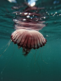 Compass Jellyfish (Chrysaora Hysocella) South Africa, Port Elizabeth, Ibhayi, Madiba Bayn Ocean Photographic Print by Reinhard Dirscherl