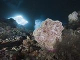 Soft Coral (Dendronephthya Mucronata) in Grotto, Pacific Ocean, Raja Ampat, West Papua, Indonesia Photographic Print by Reinhard Dirscherl