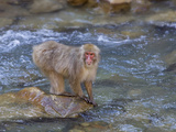 Japanese Macaque or Snow Monkey (Macacfuscata) They are Famous for Soaking in the Warm Pools Photographic Print by John Cornell