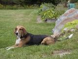 American Foxhound Photographic Print by Cheryl Ertelt