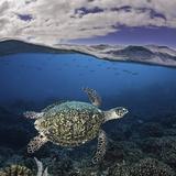 Endangered Hawksbill Sea Turtle (Eretmochelys Imbricata), Tubbataha Reef, Philippines Fotoprint van David Fleetham