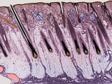 Cross-Section of the Skin on the Human Scalp Fotografie-Druck von Donald Fawcett