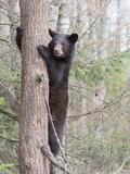 Black Bear (Ursus Americanus) in a Tree, Vince Shute Wildlife Sanctuary, Minnesota, USA Photographic Print by Cheryl Ertelt