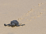 Green Sea Turtle Hatchling (Chelonia Mydas Agassizi), Galapagos Islands Photographic Print by Gerald & Buff Corsi