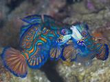 Male Mandarinfish (Synchiropus Splendidus) Fighting, One Trying to Drive the Other Away Photographic Print by Christopher Crowley