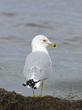 Ring-Billed Gull (Larus Delawarensis), Florida, USA Photographic Print by Marc Epstein