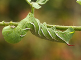 Tobacco Hornworm (Manduca Sexta) Photographic Print by Ray Dove