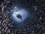 Galapagos Sea Lion (Zalophus Californianus Wollebacki) Swimming Through a Large School Fotografie-Druck von David Fleetham