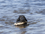 Flat-Coated Retriever Retrieving an Object in Water, MR Photographic Print by Cheryl Ertelt