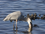 Great Blue Heron (Ardea Herodias) Feeding, Merritt Island National Wildlife Refuge, Titusville Photographic Print by Marc Epstein