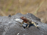 Espanola Lava Lizard (Microlophus Delanonis), Espanola Island, Galapagos Islands, Ecuador Photographic Print by Gerald & Buff Corsi