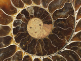 Ammonite Fossil Photographic Print by Jeff Daly
