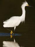 Snowy Egret (Egretta Thula) Photographic Print by John Cornell