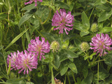 Red Clover (Trifolium Pratense) Photographic Print by Gary Cook
