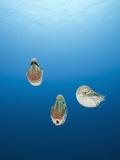 Group of Chambered Nautilus (Nautilus Belauensis), Micronesia, Palau Photographic Print by Reinhard Dirscherl