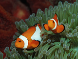 Two Clown Anemonefishes, Amphiprion Ocellaris, Indonesia, Bali, Indian Ocean Photographic Print by Reinhard Dirscherl