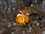 Clown Anemonefish (Amphiprion Ocellaris), Raja Ampat, West Papua, Indonesia Photographic Print by Reinhard Dirscherl