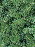 White Spruce Needles (Picea Glauca) Photographic Print by Wally Eberhart