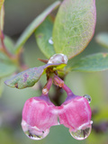 Raindrops on Alaska Blueberry Blossoms (Vaccinium Alaskaense), Denali National Park, Alaska, USA Photographic Print by Patrick Endres