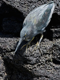 Lava Heron (Butorides Sundevalli), Galapagos Islands, Ecuador Photographic Print by Gerald & Buff Corsi