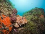 Red Scorpionfish (Scorpaena Scrofa), Cap De Creus, Costa Brava, Spain Photographic Print by Reinhard Dirscherl