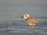Snowy Plover (Charadrius Alexandrinus) Photographic Print by John Cornell