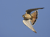 American Kestrel Male in Flight Photographic Print by Richard Ettlinger