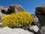 Brittlebush (Encelia Farinosa), Joshua Tree National Park, Mojave Desert, California, USA Photographic Print by Gerald & Buff Corsi