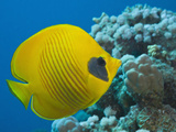 Masked Butterflyfish (Chaetodon Semilarvatus), Marsa Alam, Red Sea, Egypt Photographic Print by Reinhard Dirscherl