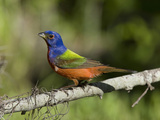 Male Painted Bunting (Passerina Ciris), Charleston, South Carolina, USA Photographic Print by Marc Epstein