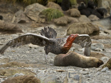 Southern Giant Petrel (Macronectes Giganteus) a Near Threatened Species, Eating an Ant Fur Seal Photographie par Gerald & Buff Corsi