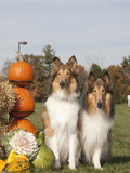 Collies Sitting by Pumpkins and Gourds Photographic Print by Cheryl Ertelt