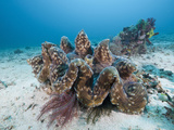 Giant Clam (Tridacna Squamosa), Amed, Bali, Indonesia Photographic Print by Reinhard Dirscherl