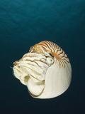 Nautilus (Nautilus Pompilius), Great Barrier Reef, Australia Photographic Print by Reinhard Dirscherl