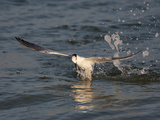 Sandwich Tern (Sterna Sandvicensis) Emerging from the Ocean after Diving for Fish Photographic Print by John Cornell
