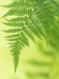 Lady Fern Frond (Athyrium Filix-Femina) Photographic Print by Wally Eberhart