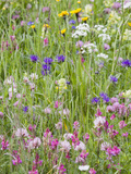 Wildflowers Growing in a Meadow in the Dolomite Mountains of Italy Photographic Print by Ashley Cooper