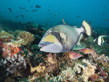 Titan Triggerfish (Balistoides Viridescens), Amed, Bali, Indonesia Photographic Print by Reinhard Dirscherl