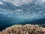 School of Silversides over a Coral Reef, Atherinidae, Raja Ampat, West Papua, Indonesia Photographic Print by Reinhard Dirscherl